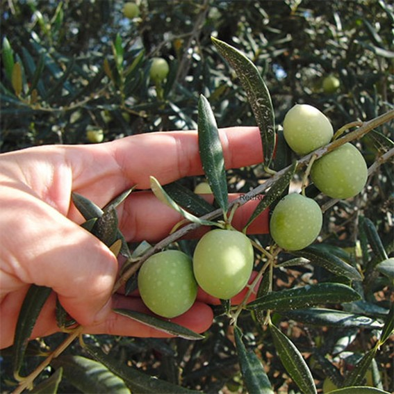 olive picking in the Sierra de las Nieves