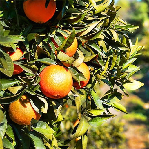 Orange tree in the Sierra de las Nieves